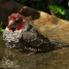 Bathing Finch