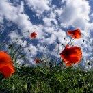 Villebois Poppies