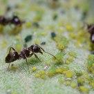 Hormigas pastoras