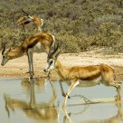Springboks at Namibia