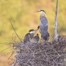 Great Blue Heron - Father & Chicks