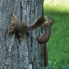 Red Squirrels at Play