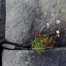 Flower on rocks at coast