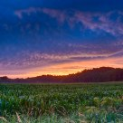 Cornfield After Sunset