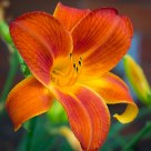 Orange-Yellow Flower