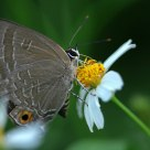 The silver forget-me-not butterfly