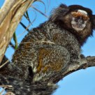 Mico Estrela (Little Monkey)