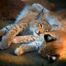 Lynx kittens (Eurasian lynx)