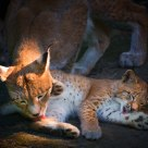 Mother & kitten (Eurasian lynx)