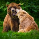 Male & female brown bear