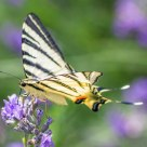 Iphiclides Podalirius su Fiore di Lavanda - Scarce Swallowtail Butterfly on Lavender Flower