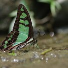 Graphium cloanthus kuge