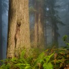 Fern and Redwoods