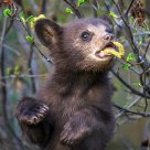 Black Bear cub with Catkin