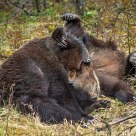 Mating Grizzly Bears
