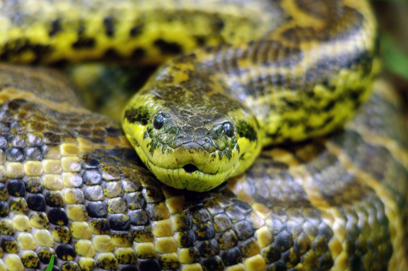 Resultado de imagen de anaconda amarilla