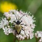 Alpine Bug