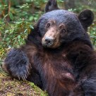 Nursing Female Black Bear