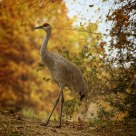 Sandhill Crane on a hill