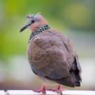 Pigeon: Cooing