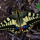 Butterfly-Papilio machaon