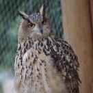Eagle-owl says Hello