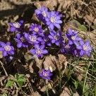 Liverleaf flowers