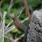 Mantis curiosa