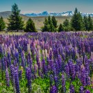 Lupin Flower Field