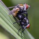 Pair of Flies