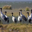 The Black-necked Cranes