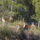 Cabras hispánicas