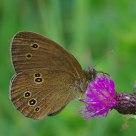Aphantopus hyperantus)