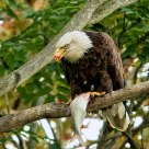 Bald Eagle Eating a Fish #a6020