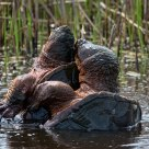 Mating Snapping Turtles #a5891