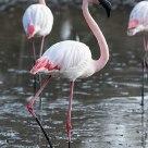 Black Peak Flamingo