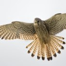 flying kestrel