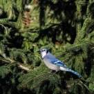 Blue Jay and Spring