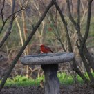 Cardinal pair looking for each other