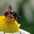 Cylindromyia (Tachinidae)