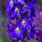 Violet passion - Delphinium