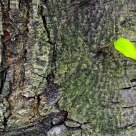 A green leaf on old tree