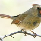 'Northern Cardinal - 'Female'