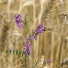 Purple on Wheat