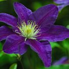 Clematis - Garden Flower