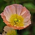 Poppy is my favorite Spring flower