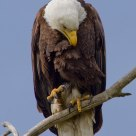 Bald Eagle Preening