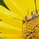 Soldier Beetle on Heliopsis