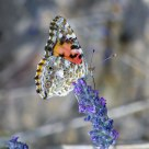 Butterfly - Painted Lady (Vanessa cardui)