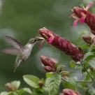 Hummingbird and Shrimp Plant